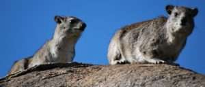 Hyrax African Animal Related To Elephant