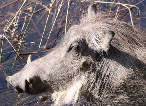 warthog food and drink  photo