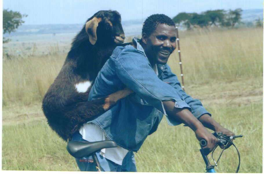 Comment transporter son chien sur son B? - Page 2 Livestock-Transport-The-African-Goat-Goat-Farming