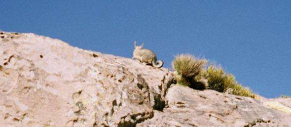 Vizacacha on rocks Lauca National Park chile  photo image