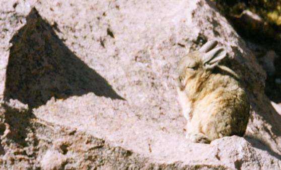 Vizcacha Viscacha chile  photo