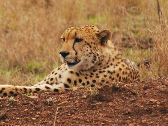 Cheetah Phinda south africa  photo image