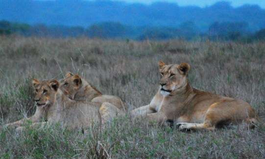 Lioness With Cubs south africa  photo