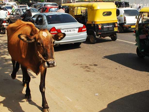 Iconic Images Cows In Indian Streets travel photography  photo