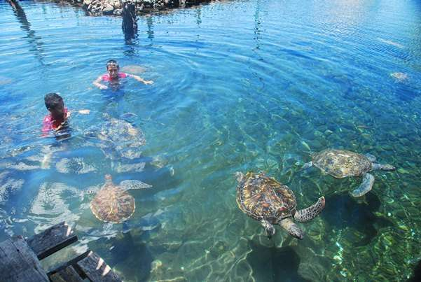 Sea Turtles Swimming samoa  photo