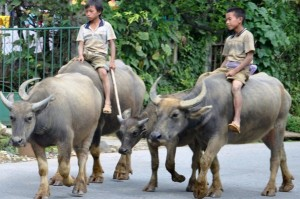 Buffalo Rides - Asian Style in Vietnam