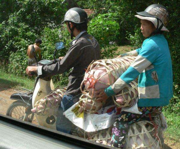 Motorbike Transport Services Vietnamese Pig Courier DaNang to Nha Trang vietnam  photo image