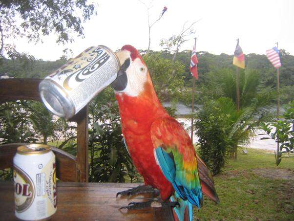 Amazon Rainforest Bird Wildlife Beer Drinking Macaw in Brazil brazil  photo