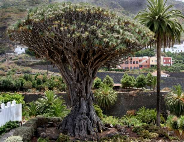 Tenerife Canary Islands Dragon Tree spain  photo image