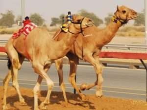 Camel Racing In Dubai UAE