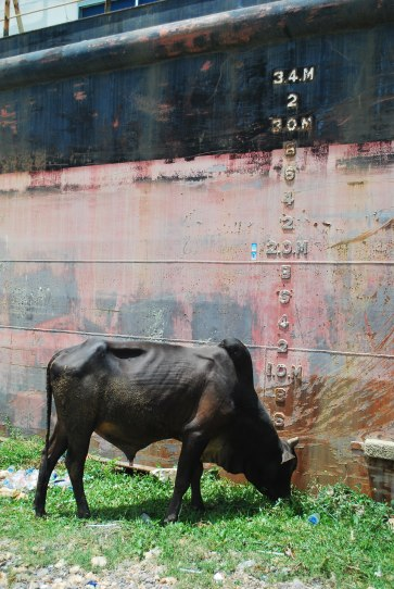Cow Grazing at Banda Aceh Ship indonesia pestablogger 2009  photo