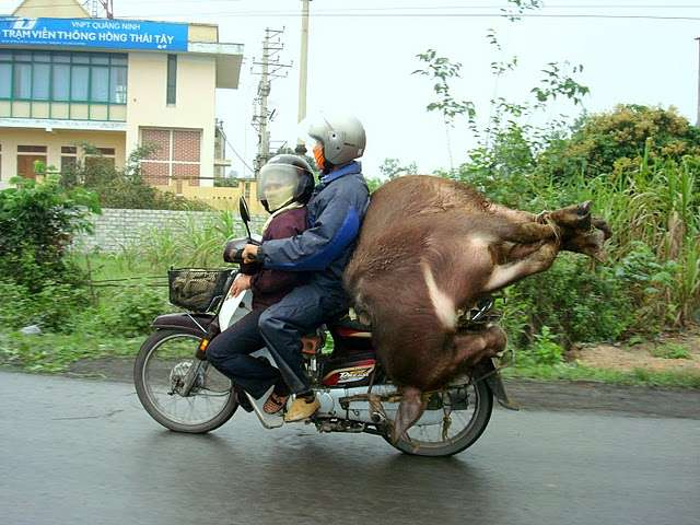 How To Ride Bike - With an Ox. Vietnam Motorcycle Funny Travel Photo