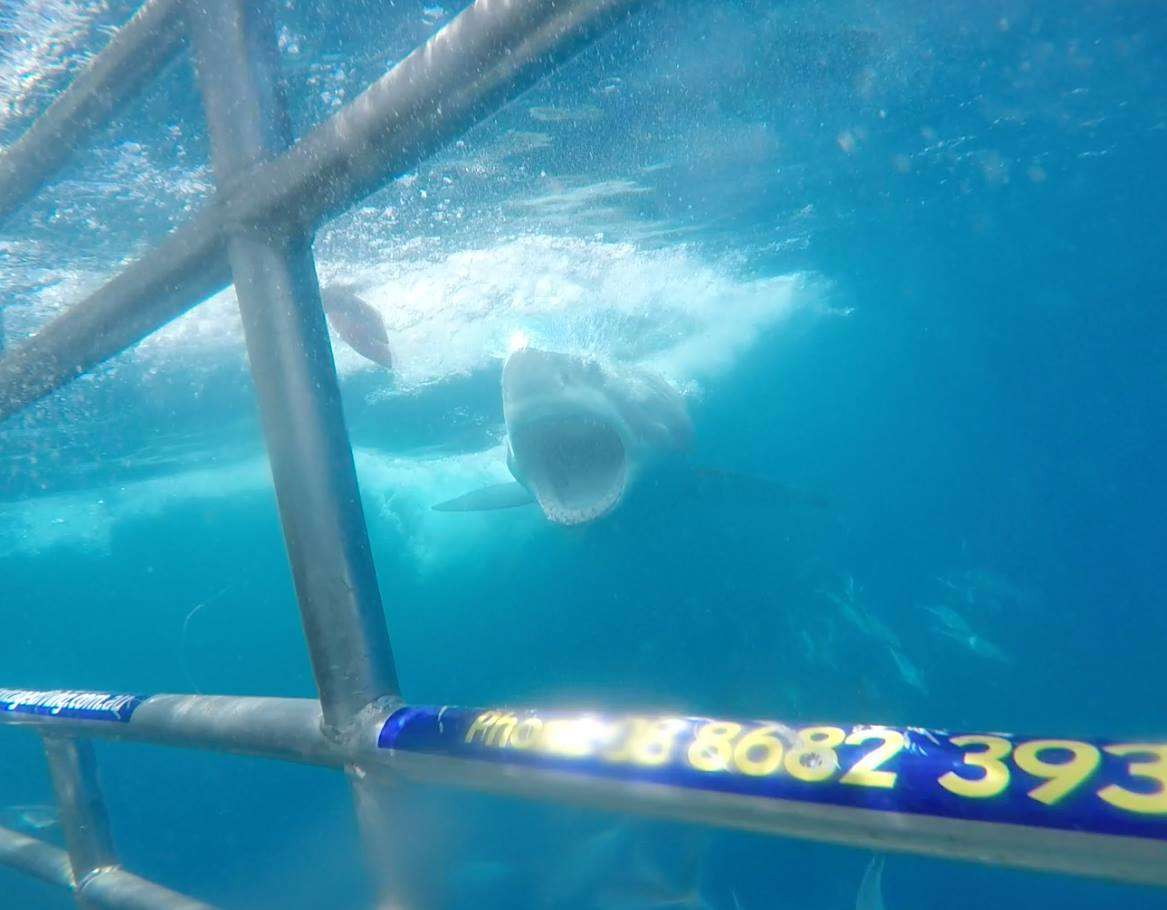 great-white-shark-cage-diving-in-australia