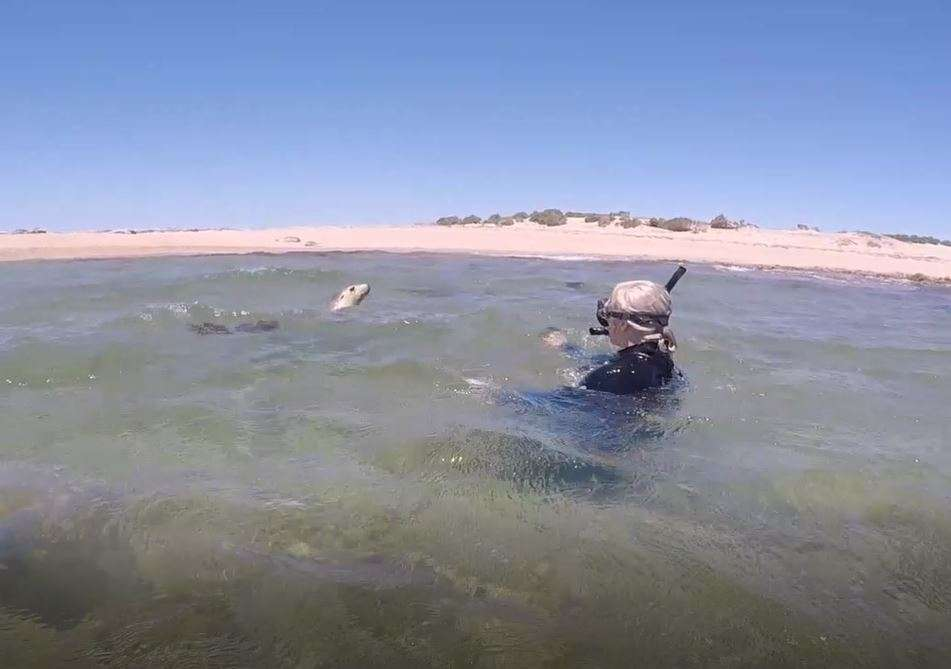 swimming-with-seals-in-australia-in-the-wild